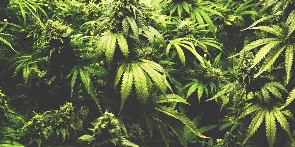 Marijuana reduces memory impairment